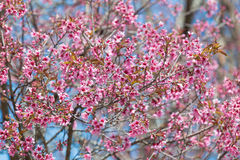 Pink flower in blue sky background (Wild Himalayan Cherry) Stock Photos