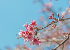 Pink flower in blue sky background (Wild Himalayan Cherry) Royalty Free Stock Photography