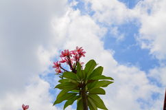 Pink flower. With blue sky in the garden Stock Image