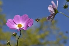 Pink Flower Blue Sky Honey Bee. Pink Cosmos flower against a blue sky with a honey bee flying to it to gather more nectar and pollen Stock Images