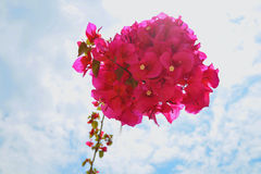 Pink flower with blue sky. Mediterranean floral background,bougainvillea red flowers bushes Stock Photography