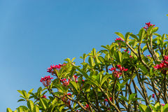 Pink flower and blue sky Stock Image