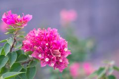 Bougainville Royalty Free Stock Images