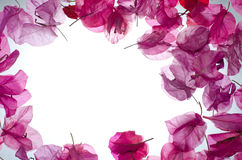 Pink flower border. Pink bougainvillea on white background stock image