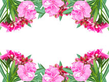Pink flower. Border of pink flower, Nerium oleander L., isolated on white background royalty free stock photography