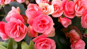 Pink flower bouquet, born as a bush, arranged in a pot, for the background image. Pink flower bouquet, born as a bush, arranged in a pot, for a background image Stock Image
