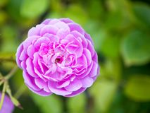 Pink flower. Bright pink flower in the garden. Macro royalty free stock images