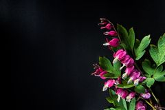 Pink flower - broken heart flower Stock Photo