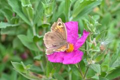 Pink flower with brown butterfly and green foliage background Royalty Free Stock Images