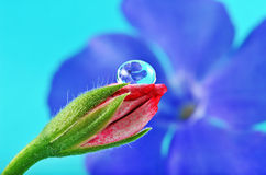 Pink flower bud and beautiful dew drop Stock Photo