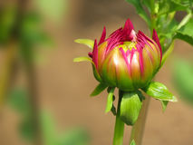 Pink flower bud, dahlia plant Stock Images