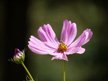 Pink flower. And bud in Tuscany, Italy Royalty Free Stock Photo