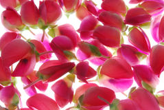 Pink Flower Buds Royalty Free Stock Images