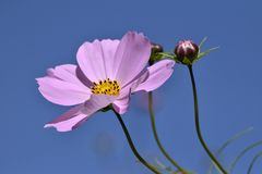 Pink Flower and Buds and Blue Sky Royalty Free Stock Photography