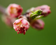 Pink flower buds on springtime Royalty Free Stock Photo