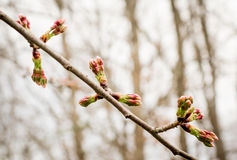 Pink Flower Buds on a Tree Branch Royalty Free Stock Photo