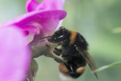 Pink flower and bumble-bee. Bumble-bee drink juice from pink flower stock photo
