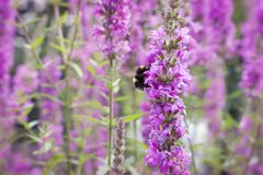 Pink flower and bumblebee in nature or garden Royalty Free Stock Image