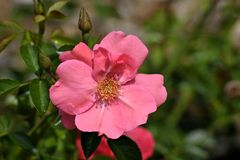 Pink flower on bush Stock Photography