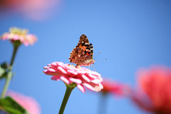 Pink flower with butterfly. Pink flower again blue sky with butterfly Stock Image