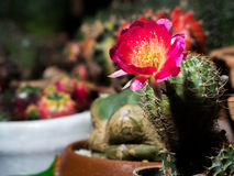 The pink flower of the cactus. Royalty Free Stock Photography