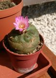 Pink flower of cactus grown on balcony stock photography