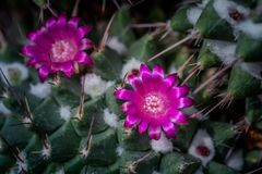 Pink flower cactus on the pebble. Pink cactus flowers. The cactus green nature in the botanical garden stock photos