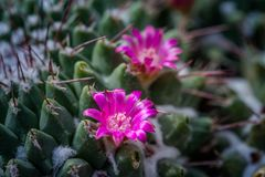 Pink flower cactus on the pebble. Pink cactus flowers. The cactus green nature in the botanical garden stock photography