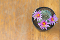 Pink flower of cactus in pot on old wood table Royalty Free Stock Images