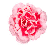 Pink flower of carnation Royalty Free Stock Photography