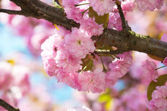 Pink flower, cherry blossom at spring Royalty Free Stock Photos