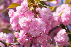 Pink flower, cherry blossom at spring Stock Photos