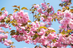 Pink flower, cherry blossom at spring Stock Photo