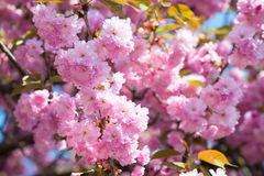 Pink flower, cherry blossom at spring Royalty Free Stock Images