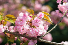 Pink flower, cherry blossom at spring Stock Images