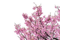 Free Pink Flower, Cherry Blossoms Tree Isolated On White Background Stock Photo - 181395280