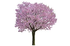 Pink flower, Cherry blossoms tree isolated on white background.  stock photography