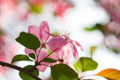 Pink flower cherry branch blossom and green leaf in spring stock photos