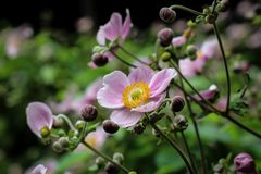 Pink flower of Chinese anemone stock photography
