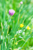 Pink flower of chives herb close up Royalty Free Stock Photography