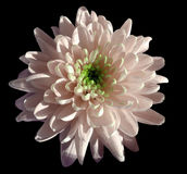 Pink flower chrysanthemum, garden flower, black  isolated background with clipping path.  Closeup. no shadows. green centre. Royalty Free Stock Photography