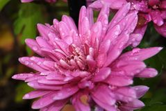 Pink flower Chrysanthemum with water drops, macro photography stock image