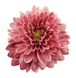 Pink flower chrysanthemum on white  isolated background with clipping path.  Closeup. no shadows. Royalty Free Stock Photos