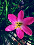 Pink flower. Click in my garden morning show Stock Photos
