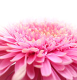 Pink flower close up Stock Photo