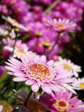 Pink Flower Close-up royalty free stock images