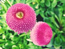 Pink flower close up. Beautiful bright pink flowers close up Stock Photos