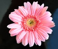 Pink flower close up daisy gerbera on black royalty free stock images