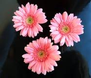 Pink flower close up daisy gerbera stock images