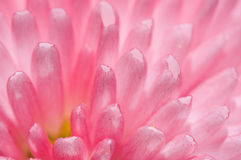Pink flower close up Stock Photos